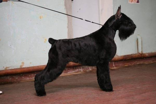 Riesenschnauzer Gloris Only One