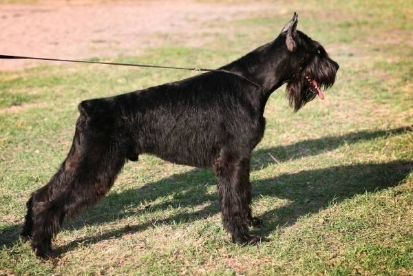 Riesenschnauzer Gloris Hard Rock
