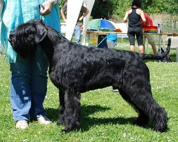 Riesenschnauzer Apollo v. Horren