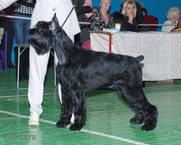 Riesenschnauzer<br/> Gloris  Streek Of Lightning
